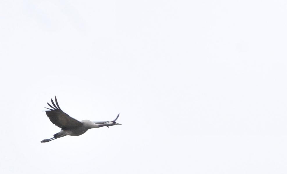 żuraw Ptak O Wielu Symbolach Ekoszalinpl